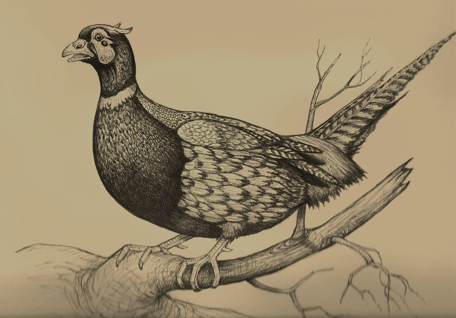 male_pheasant_drawing_by_chuckrondeau-d3fxptb