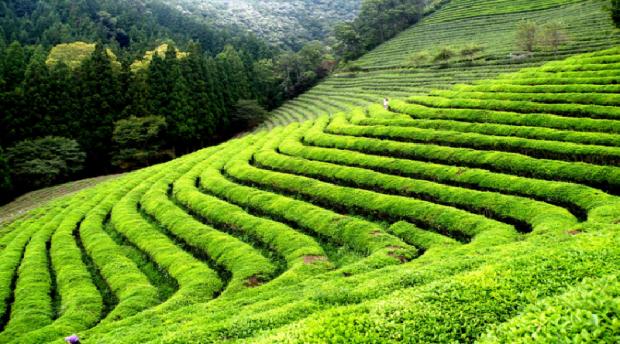 tea farm in Kenya